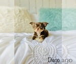 Small Photo #9 Chihuahua Puppy For Sale in COOKEVILLE, TN, USA