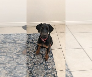 Doberman Pinscher Puppy for sale in SAN DIEGO, CA, USA