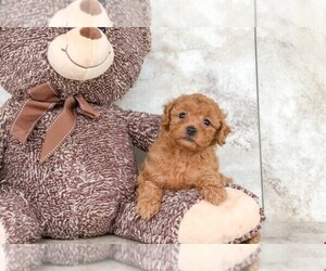 Poodle (Toy) Puppy for sale in AMITY, NC, USA