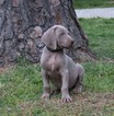 Weimaraner Puppy For Sale in HARRISON, AR, USA