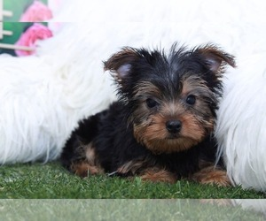 Yorkshire Terrier Dog for Adoption in MARIETTA, Georgia USA