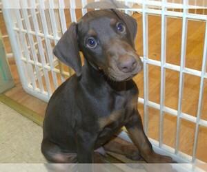 Doberman Pinscher Puppy for sale in PATERSON, NJ, USA
