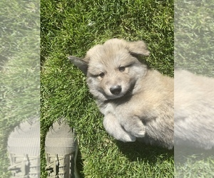 German Shepherd Dog-Great Pyrenees Mix Puppy for sale in KENT, WA, USA