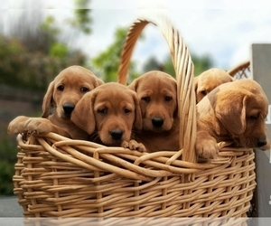 Labrador Retriever Puppy for Sale in MILLVILLE, Minnesota USA