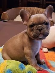 French Bulldog Puppy For Sale in AURORA, TX, USA