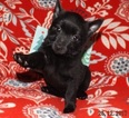 Schipperke Puppy For Sale in SEYMOUR, MO, USA