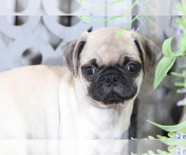 Medium Photo #2 Pug Puppy For Sale in MOUNT VERNON, OH, USA
