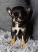 Adorable Long Hair Chihuahua Babies Ready to go