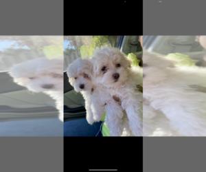 Maltese Puppy for sale in ATL, GA, USA