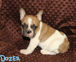 French Bulldog Puppy For Sale in MOUNTAIN HOME, AR