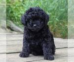 Small #3 Yorkie-Poo