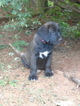Mastador Puppy For Sale in LOGANVILLE, GA, USA