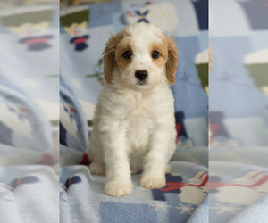 Cavapoo Puppy for Sale in MILWAUKEE, Wisconsin USA