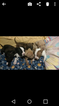 American Pit Bull Terrier Puppy For Sale in HESPERIA, MI, USA