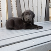 Labrador Retriever Puppy For Sale in ARTHUR, IL