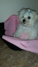 Maltese Puppy For Sale in FLORAHOME, FL