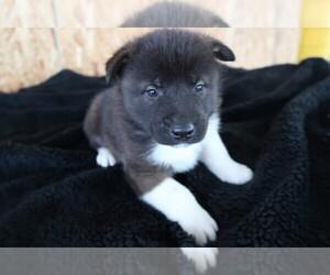 Akita Puppy for sale in GR, MI, USA