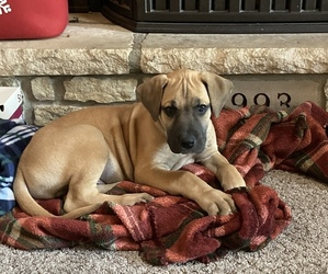 Great Dane Puppy for sale in HARRISON, OH, USA