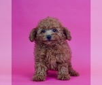 Puppy 10 Poodle (Toy)