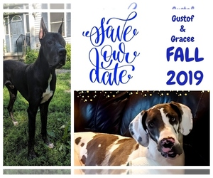 Great Dane Dog for Adoption in BRUNSWICK, Georgia USA