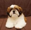 Shih Tzu Puppy For Sale in CONDON, MT,