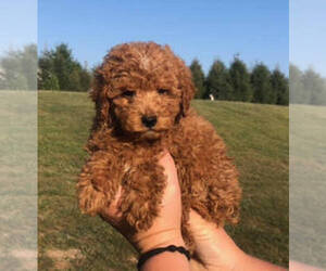 Bernedoodle Puppy for sale in BLOOMFIELD, IA, USA