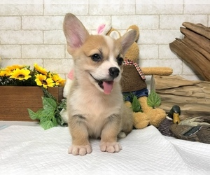 Pembroke Welsh Corgi Puppy for sale in EMPIRE STATE, NY, USA