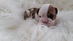 English Bulldog Puppy For Sale in CITY VIEW HEIGHTS, OH, USA