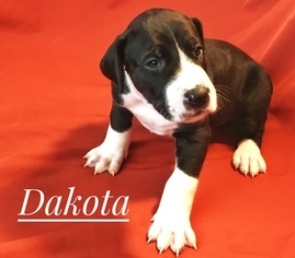 Great Dane Puppy For Sale in SCOTTSDALE, AZ, USA