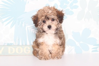 View Ad Poodle Toy Yorkshire Terrier Mix Puppy For Sale Florida