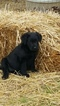 Labrador Retriever Puppy For Sale in HARTVILLE, MO, USA