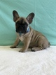 Bentley The AKC French Bulldog