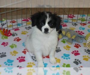 Papillon Dog for Adoption in ORO VALLEY, Arizona USA