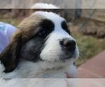 Puppy 8 Great Pyrenees-Saint Bernard Mix