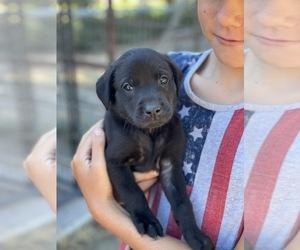 Labrador Retriever Dog for Adoption in LOS ALAMOS, California USA