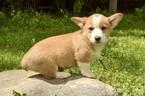 Puppy 7 Pembroke Welsh Corgi