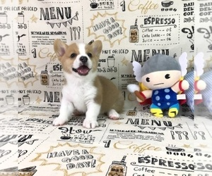 Pembroke Welsh Corgi Puppy for Sale in SAN JOSE, California USA