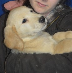 Golden Retriever Puppy For Sale in WHITEHALL, PA
