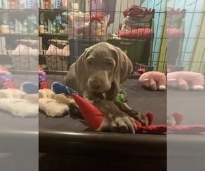 Weimaraner Puppy for Sale in MILLERSBURG, Ohio USA