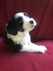 Tibetan Terrier Puppy For Sale in SMARTSVILLE, CA, USA