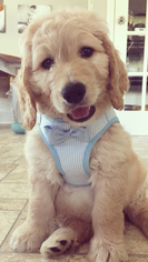 Goldendoodle Puppy For Sale in THOMASVILLE, NC