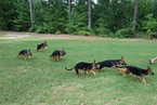 German Shepherd Dog Puppy For Sale in MONTICELLO, GA,