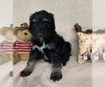 Puppy 7 Bernedoodle