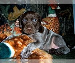 AKC German Shorthaired Pointer Puppy Daisy