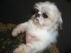 Shih Tzu Puppy For Sale in CARROLLTON, GA,