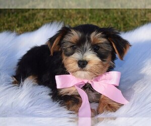 Morkie Puppy for sale in COSHOCTON, OH, USA