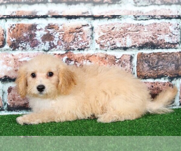 Medium Photo #2 Poochon Puppy For Sale in BEL AIR, MD, USA