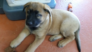 Malinois Puppy For Sale in LYNNVILLE, TN, USA