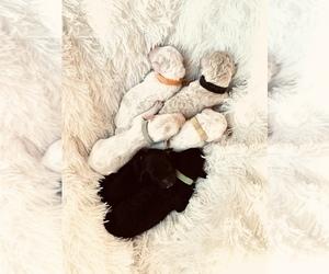 Goldendoodle-Poodle (Standard) Mix Puppy for sale in DAVISON, MI, USA