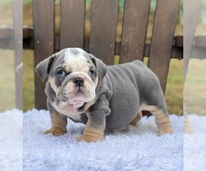 Bulldog Puppy for sale in MEDINA, WA, USA